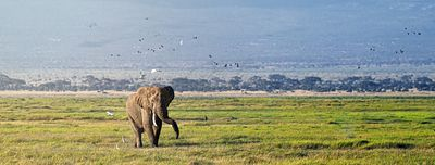 Elephant Walking With Birds in Amboseli