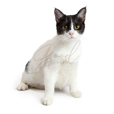 White and Black Domestic Shorthair Cat