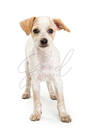 Inquisitive mixed breed small white dog isolated