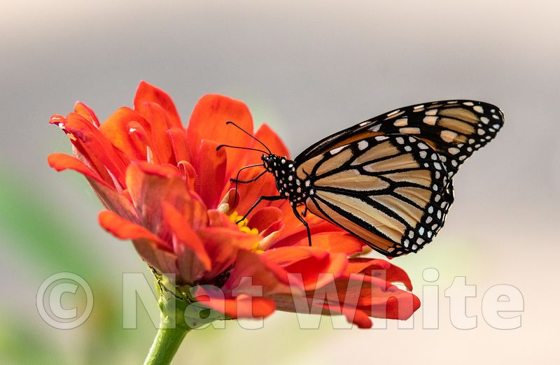 Monarch_Butterfly-Filename_number_suffix-_1August_19_2019_