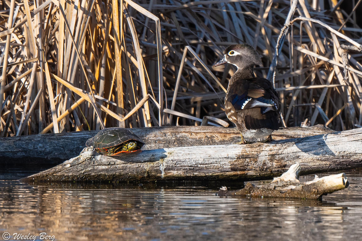 Wood Duck with a Western Painted Turtle