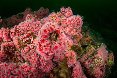 Strawberry Anemone, Corynactis californicus clumping around a Giant Barnacle.