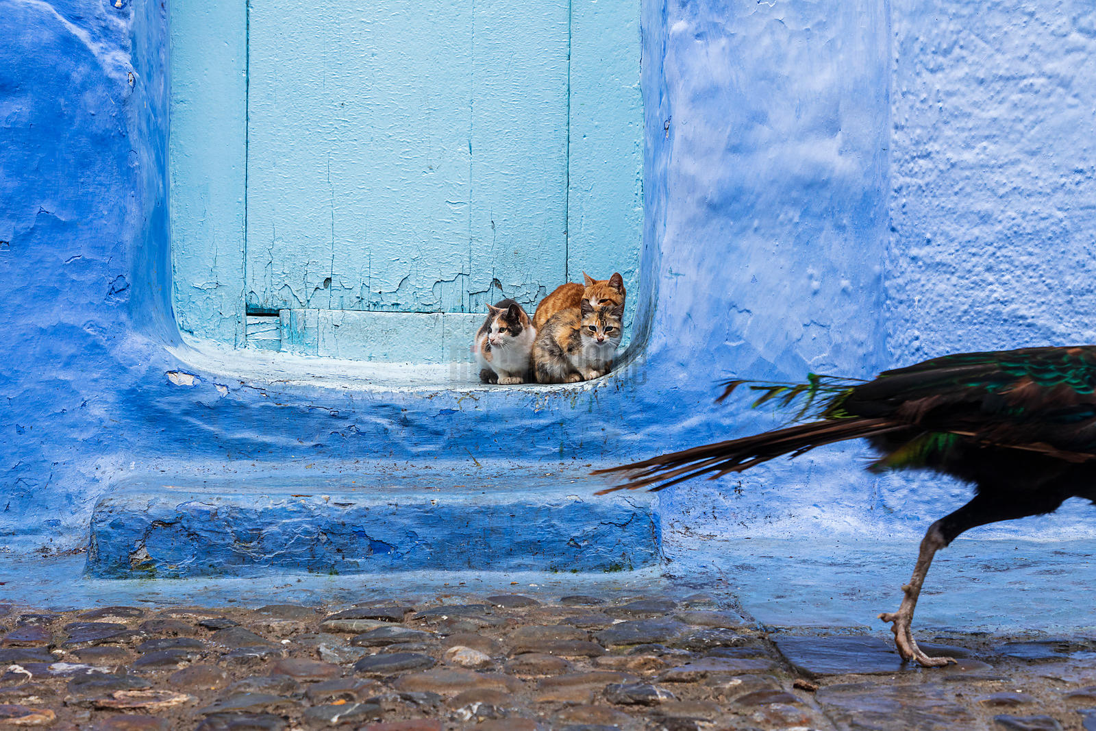 A Peacock Walks Past a Group of Street Cats in a Doorway in Chefchaouen