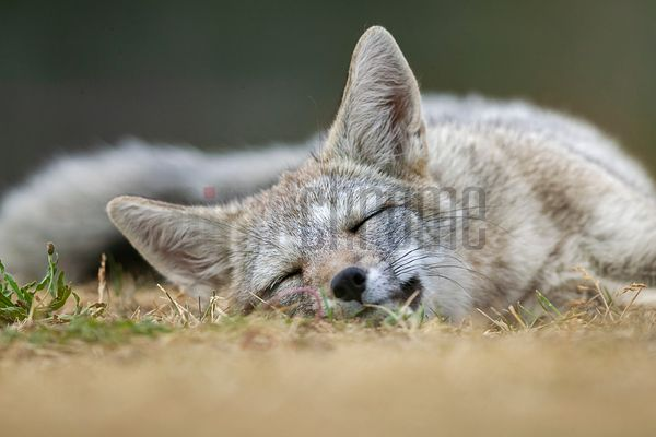 Portrait of a Sleeping Patagonian Fox