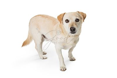 Calm mixed breed small white dog isolated.