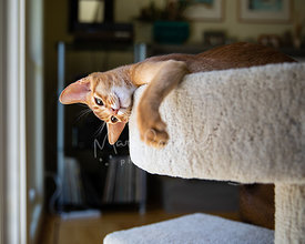 Abyssinian Kitten in Cat tree Looking Down