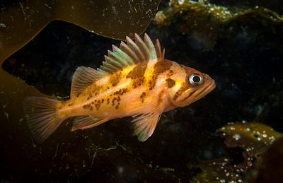 Juvenile Copper Rockfish, Sebastes caurinus, using kelp as a protective environment.