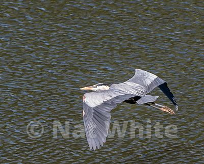 Heron_in_flight_NAW1763NAT_WHITE_May_08_2021