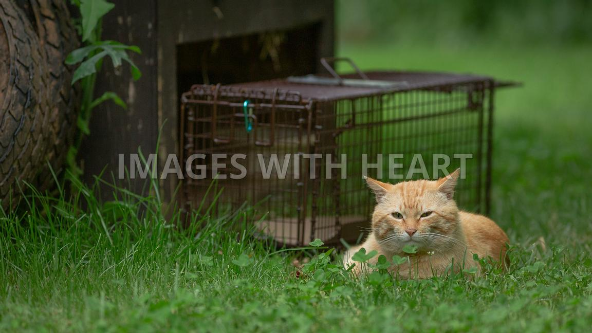 Orange tabby cat laying in grass beside humane trap