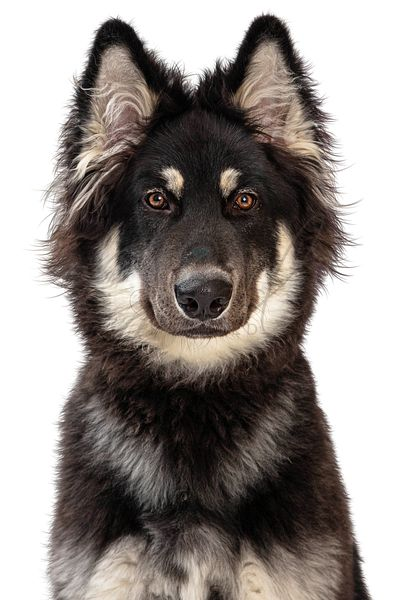Alaskan Malamute Crossbreed Dog Closeup