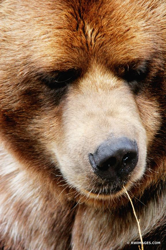 BROWN BEAR WITH A STRAW