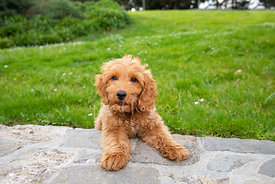 Cute Goldendoodle Puppy Resting on Stone Wall