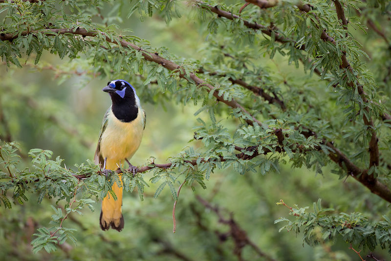 Green Jay in Tree