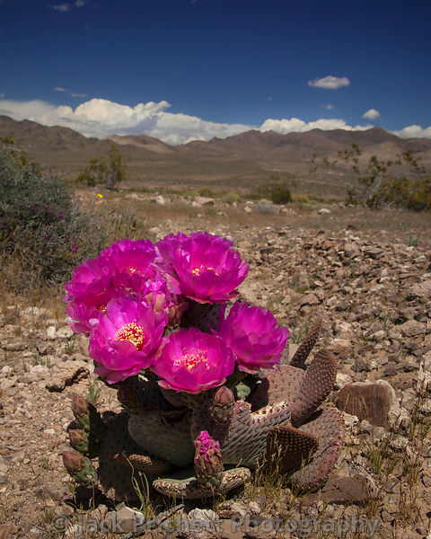 Opuntia in bloom