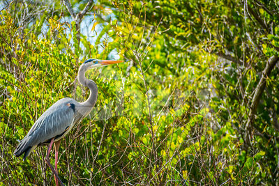 A Great Blue Heron in Everglades National Park, Florida