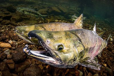 Two Large male Chum Salmon