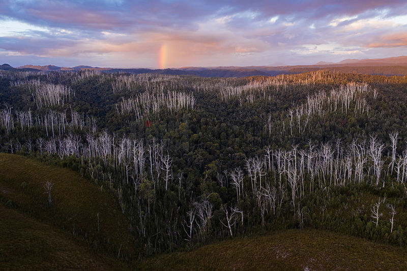Tarkine Landscape with Clusters of Bleached Eycalyptus at Sunset