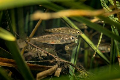 Three-spined stickleback, Gasterosteus aculeatus, among marginal grass in a river near the estuary.