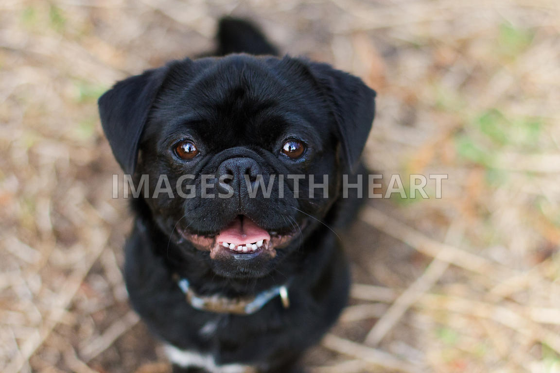 Black pug puppy with blue collar