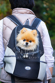 Pomeranian Dog in Pet Backback