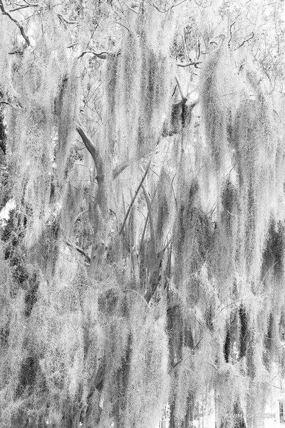SPANISH MOSS SAVANNAH GEORGIA BLACK AND WHITE VERTICAL