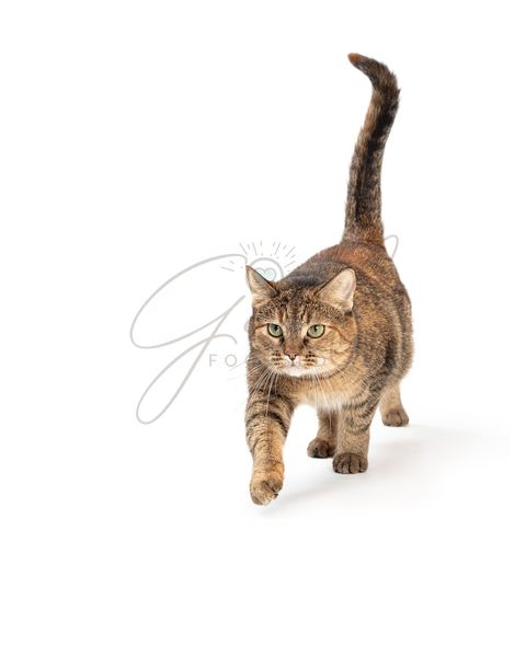 Tabby Cat Walking Forward Leg Extended