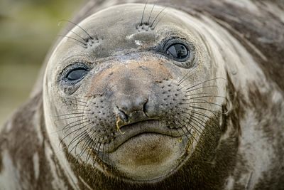 Closeup of Elephant Seal pup, Mirounga angustirostris.