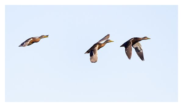 Mallards in Flight Formation