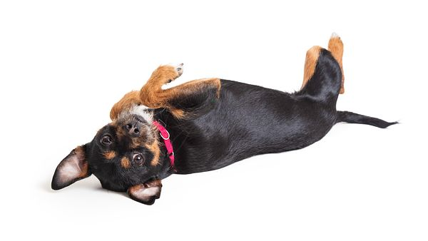 Cute chihuahua trick play dead isolated white background