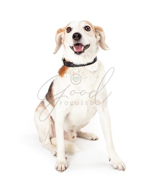 Happy Smiling Beagle Mixed Breed Dog Sitting