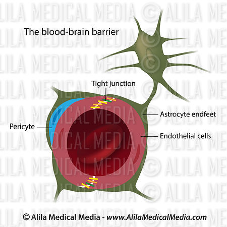 Cells of the blood brain barrier