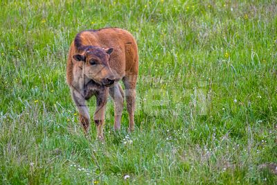 Red Dogs in the field of Yellowstone National Park, Wyoming