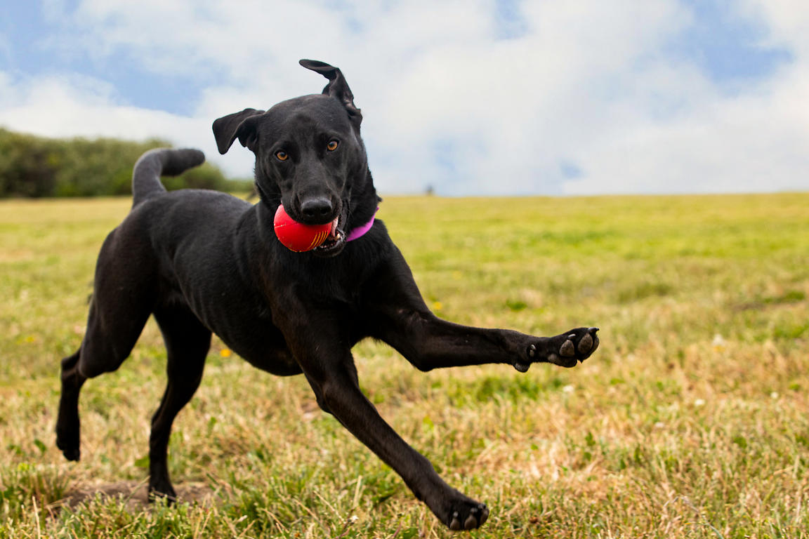 Black Labrador Running with Red Ball and Floppy Ears