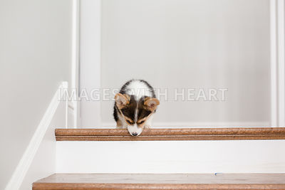 Corgi puppy on stairs looking down