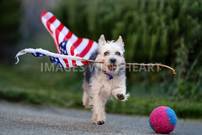 dog_carrying_the american_flag