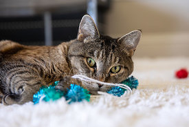 Tabby Cat Lying Behind Toy on White Rug