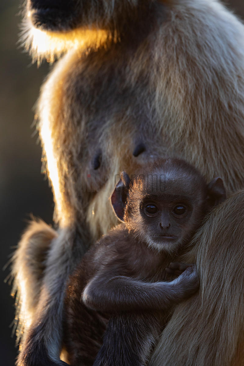 Common Langur Baby in its Mother's Embrace