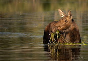 Cow Moose Dining on water grass
