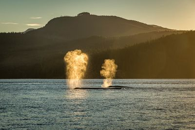 Humpback whales blowing in Discovery Passage north of Campbell River during sunset.