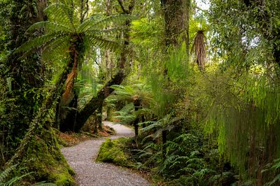Ponga Tree Ferns and Rimu line a trail in a South Island New Zealand forest.