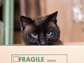 Close-up of Siamese Cat Face Looking Out from Box