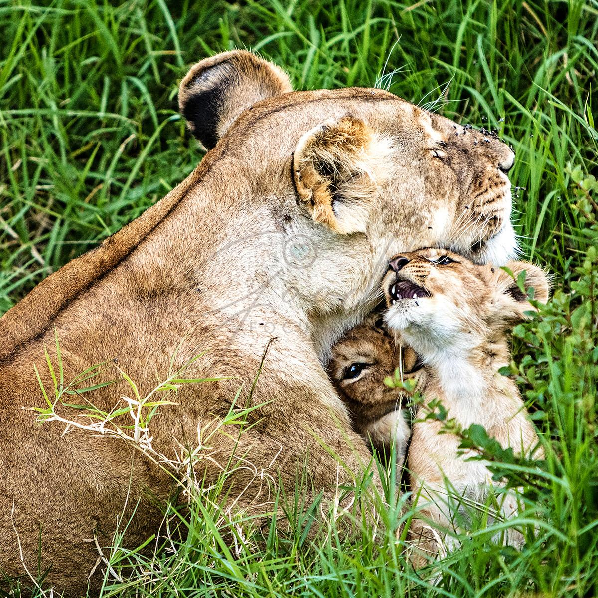 Affectionate_Lioness_With_Playful_Baby_Cubs