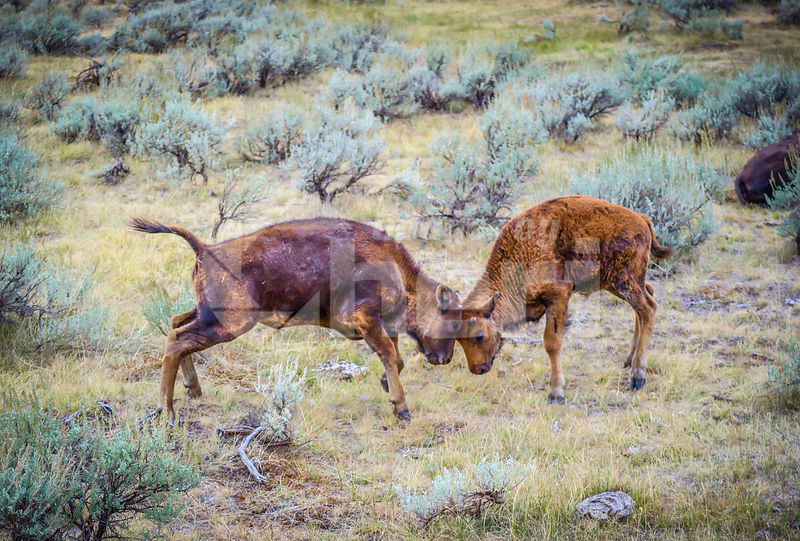 Two teenage calves ruts in the field of Yellowstone National Park, Wyoming