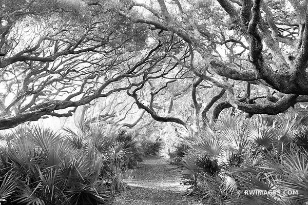 LIVE OAK TREES BRANCHES SPANISH MOSS COASTAL FOREST CUMBERLAND ISLAND GEORGIA BLACK AND WHITE