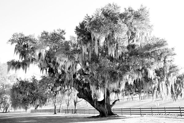 LIVE OAK TREE SPANISH MOSS DESTREHAN PLANTATION NEAR NEW ORLEANS LOUISIANA BLACK AND WHITE