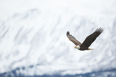 Eagle and Snowy Mountain