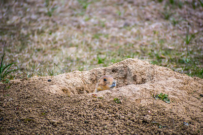Prairie Dogs in Wind Cave National Park, South Dakota