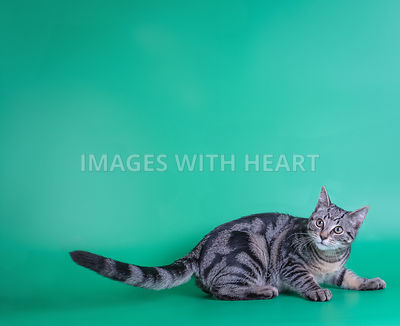 gorgeous young tabby cat green background