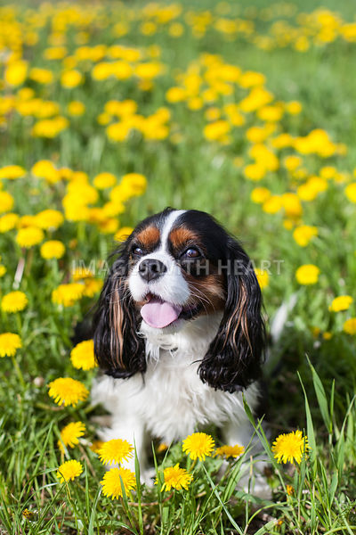 Small Dog Sitting in Grass and Dandelions