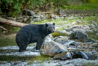 Black Bear on the Quinsam
